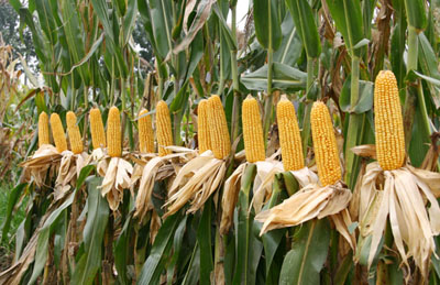 Corn outlook 2017 in China: down in planting and price