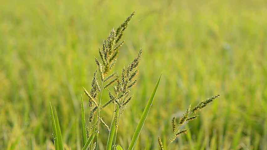 Opportunities in China's increasingly strong resistance of rice weeds