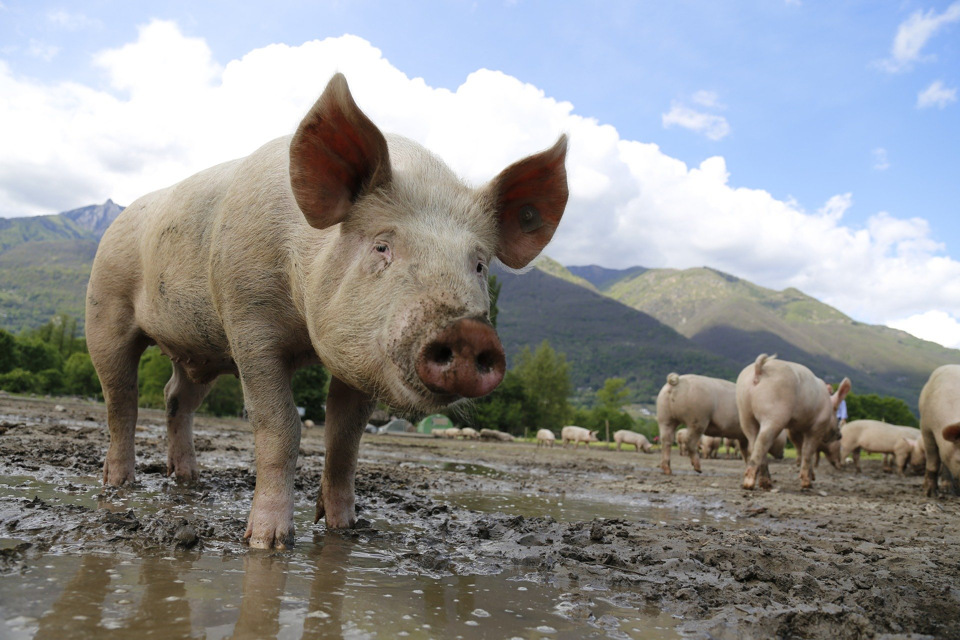 African swine fever outbreak at pig farm with about 10,000 pigs infected in Gansu