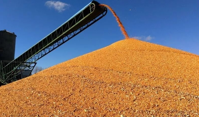 Shandong corn prices continue to rise
